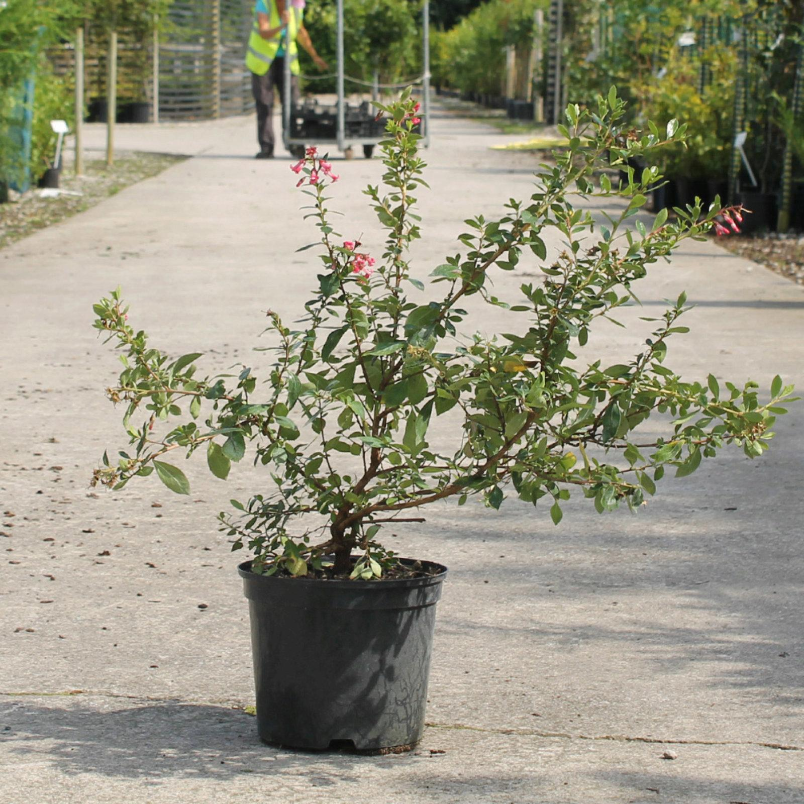 Red Escallonia 60 90cm 5l Pot